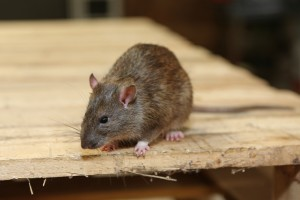 Rodent Control, Pest Control in Swanscombe, Ebbsfleet, DA10. Call Now 020 8166 9746